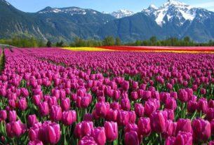 Самое интересное о тюльпанах — весенняя красота и символика