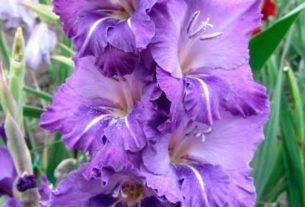Интересные факты о гладиолусах — красота без запаха